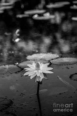 Water Lily In Black And White 1.2 Original by Liesl Marelli
