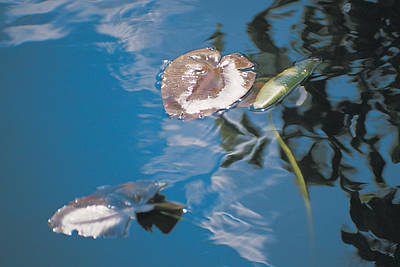 Lilly Pond Photograph - Water Lily Leaves And Reflection Of Clouds In Unknown Lake by Australian School