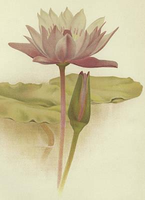 Lilies Drawing - Water Lily  Nymphaea Zanzibarensis by English School