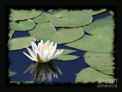 Water Lily With Black Border Print by Carol Groenen