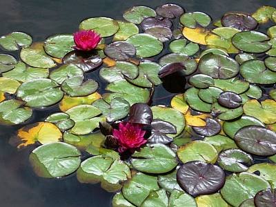 Photograph - Waterlily by Gonca Yengin