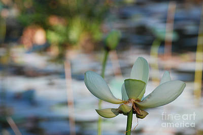 Lilly Pond Photograph - Waterlily Wash Horizontal by Heather Kirk