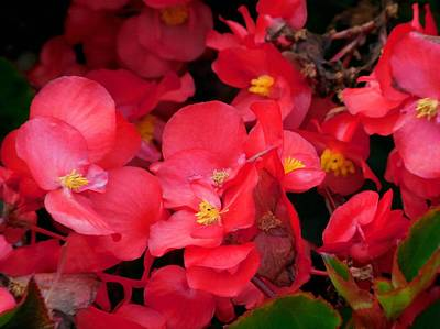Red Painting - Wax Begonia 4 by Lanjee Chee