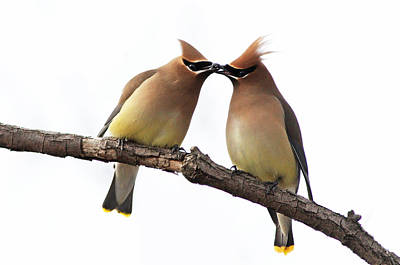 Cedar Waxwing Photograph - Waxwings In Love by Mircea Costina Photography