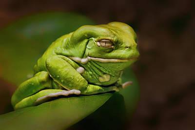 Waxy Monkey Tree Frog Print by Nikolyn McDonald