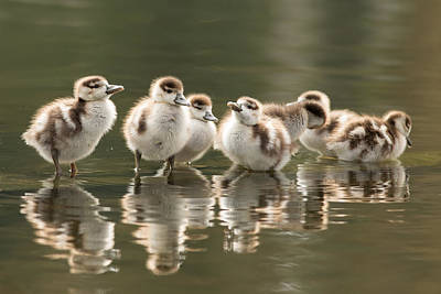 Duckling Photograph - We Are Family - Seven Egytean Goslings In A Row by Roeselien Raimond
