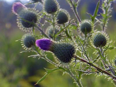 Fushia Photograph - Weed Flower 1 0f 5 by Tina M Wenger