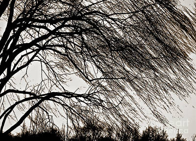 Windblown Digital Art - Weeping Willow Tree  by Carol F Austin