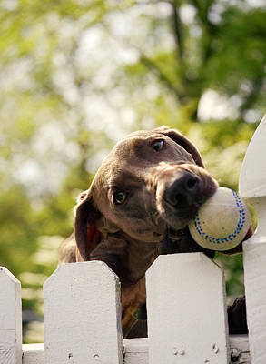 Weimaraner Holding Baseball In Mouth Print by Gillham Studios