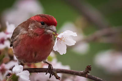 House Finch Photograph - Welcome Spring House Finch With Flower by Terry DeLuco