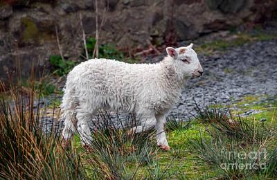Calf Digital Art - Welsh Lamb by Adrian Evans
