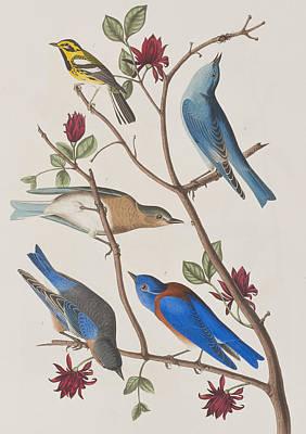 Warbler Painting - Western Blue-bird by John James Audubon