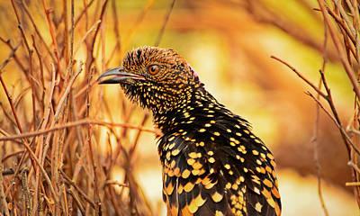 Outback Photograph - Western Bowerbird by Racheal  Christian