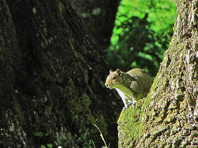 Nature Photograph - Western Gray Squirrel by Sean Griffin