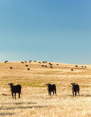 Angus Steer Photograph - Western Herd Of Cattle by Todd Klassy