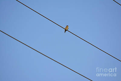 Western King Bird On Electrical Wire Print by Ruth Housley