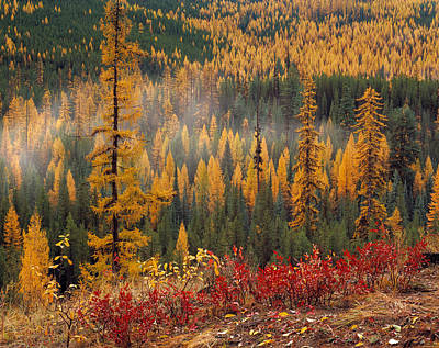 Yellow Photograph - Western Larch Forest Autumn by Leland D Howard