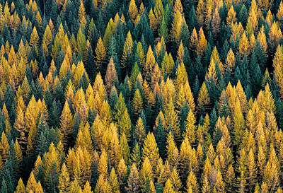 Autumn Photograph - Western Larch Forest by Leland D Howard