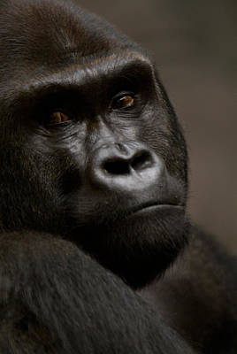 Henry Doorly Zoo Photograph - Western Lowland Gorilla At Omahas Henry by Joel Sartore