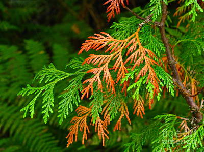 Washington Photograph - Western Red Cedar by Sean Griffin