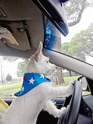 Photograph - Westie At The Wheel by Amanda Stadther