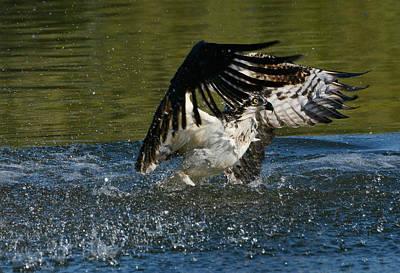 Osprey Photograph - Wet And Wild 4 by Fraida Gutovich