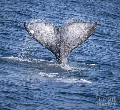 Whale Photograph - Whale Love by David Millenheft