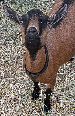 Goat Digital Art - Whats Up Doc by Gwyn Newcombe