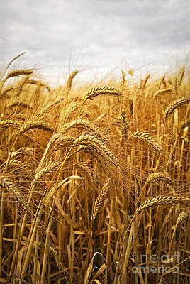 Agriculture Photograph - Wheat by Elena Elisseeva