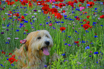 Wheaten Terrier Photograph - Wheaten Terrier And Poppies by Vijay Sharon Govender