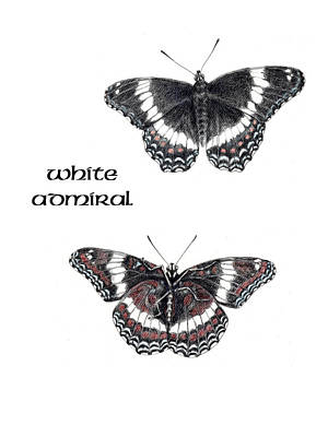 Betsy Bell Drawing - White Admiral Butterfly by Betsy Gray