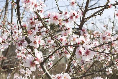 Almond Photograph - White Almond Flowers by Irina Afonskaya