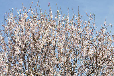 Almond Photograph - White Almond Tree Flowers by Irina Afonskaya