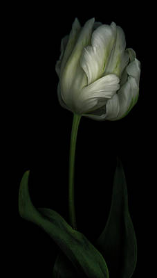 Flower Photograph - White And Green Tulip by Oscar Gutierrez