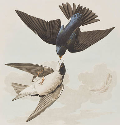 Swallow Painting - White-bellied Swallow by John James Audubon
