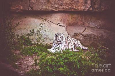 White Bengal Tiger Print by Joan McCool