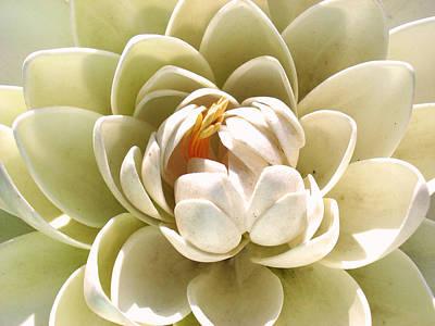 White Blooming Lotus Print by Sumit Mehndiratta