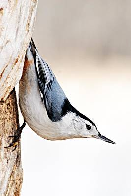 White-breasted Nuthatch Print by Larry Ricker