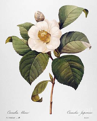 Camellia Japonica Photograph - White Camellia by Granger