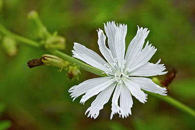 Photograph - White Chicory  Rare Color Phase   Cichorium Intybus by Mother Nature