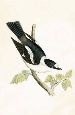 Flycatcher Drawing - White Collared Flycatcher by English School