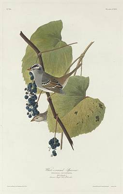 Sparrow Drawing - White-crowned Sparrow by John James Audubon