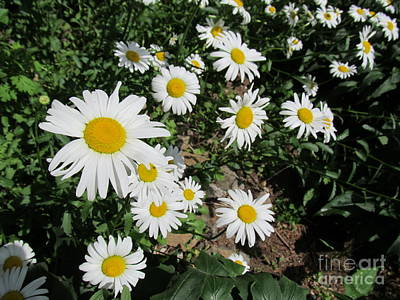 White Daisies Print by Anthony Morretta