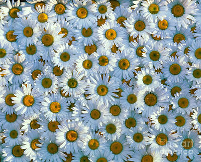 White Daisy Flowers 2 Original by David Nunuk