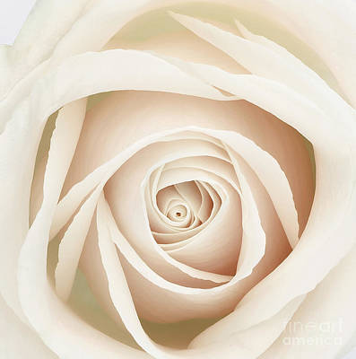 Rose Portrait Photograph - White Dawn Rose by Mindy Sommers