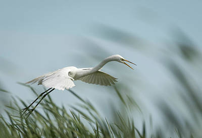 Photograph - White Egret 2016-2 by Thomas Young