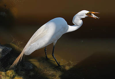 Metal Fish Art Photograph - White Egret Fishing For Midday Meal II by Suzanne Gaff