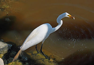 Metal Fish Art Photograph - White Egret Fishing For Midday Meal by Suzanne Gaff
