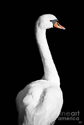 Swan Photograph - White Elegance by David Millenheft