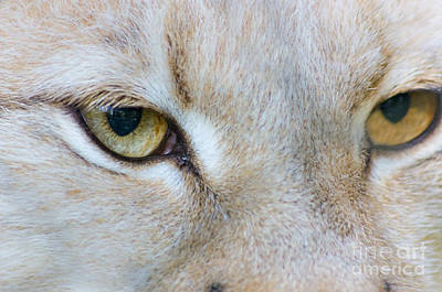 White Eurasian Lynx Close-up View Emotion Of Eyes Print by Photo Captures by Jeffery